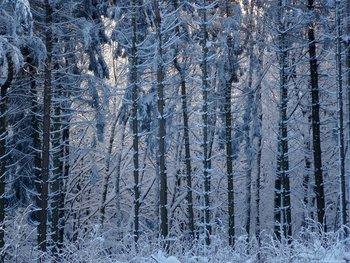 Verschneiter-Wald-Vogelsberg.jpg