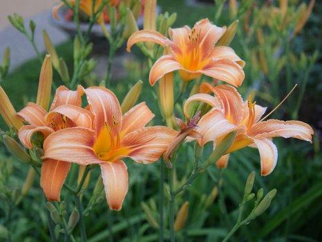 Lilien klein.jpg