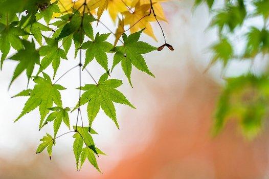 Acer palmatum, japanischer Ahorn