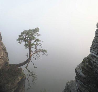 Die am Abgrund stehende Pölkingkiefer ideal durch den Nebel freigestellt.