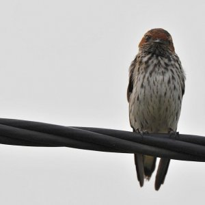 s619 Maidschwalbe (Lesser Striped Swallow) 9650