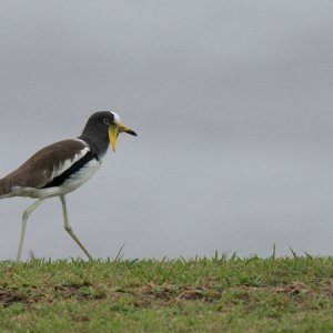 s841 Weißscheitelkiebitz (White-Headed Lapwing) 0621  1