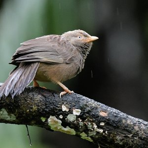 Cylondrossling (orange-billed babbler) Sinharaja Nationalpark  s1168 Shinharaja Orange billed babbler 8090